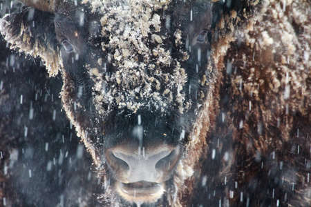 coldly: close-up portrait of wild bison in winter