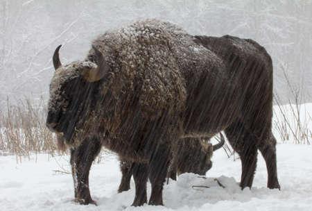 Bisontes selvagens grandes na floresta do inverno Imagens