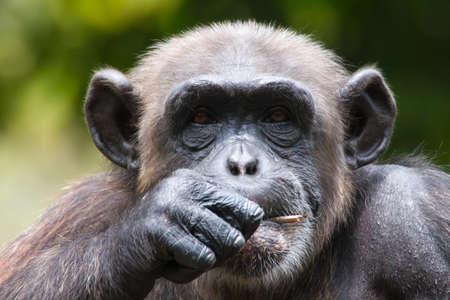 Chimpanzee in captivity photo