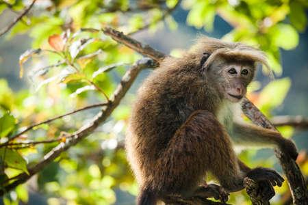 O macaco rhesus Macaca mulatta