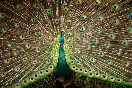 blue peafowl: Portrait of beautiful peacock with feathers out