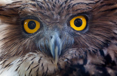big eye: owl portrait