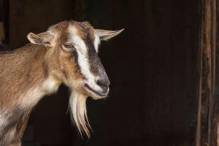 Retrato da cabra Imagens