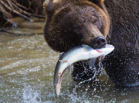Urso de Brown com uma nova captura de salm