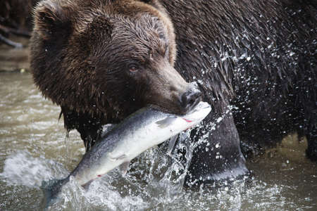Brown Bear with a fresh catch of salmon photo