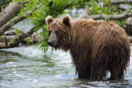 Os peixes de urso marrom Imagens