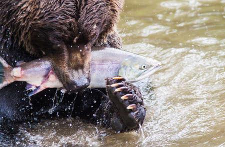 Urso marrom com salm