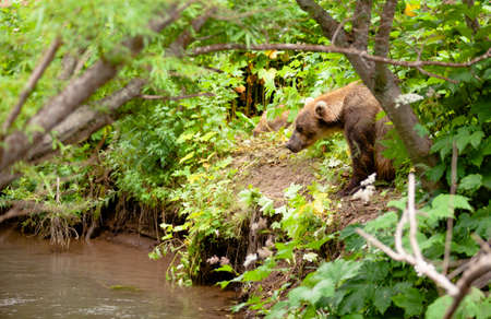 The brown bear fishes in Russia on Kamchatka Imagens