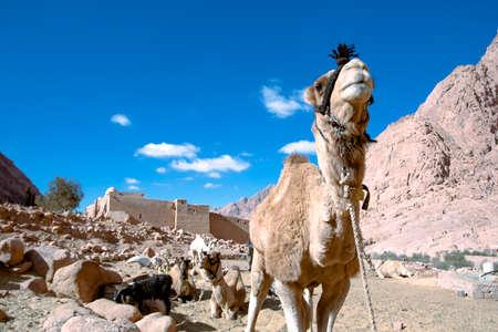 Camelo em St Mosteiro Catherines Imagens