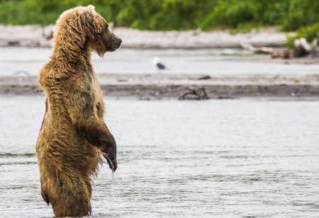 O urso marrom peixes