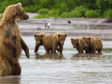 Os peixes urso marrom