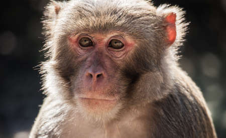 hanuman: The rhesus macaque monkey  Macaca mulatta