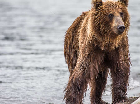 The brown bear fishes photo