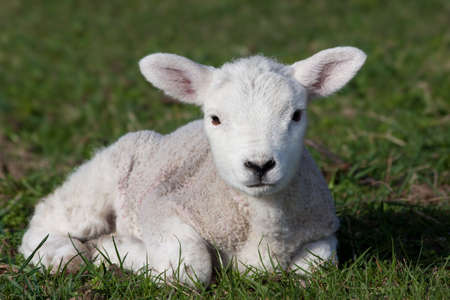Close-up of lamb lying in field Stock Photo