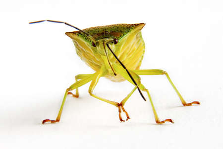 squash bug: Close up of Squash Bug Stock Photo