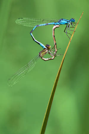 damsel: A pair of damsel flies on a stalk