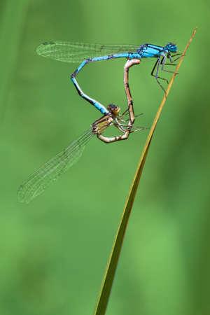 A pair of damsel flies on a stalk