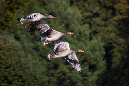 flying geese: Three Flying Geese