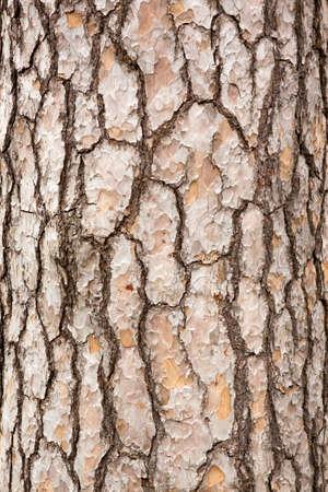 tronco: Pino corteza del tronco
