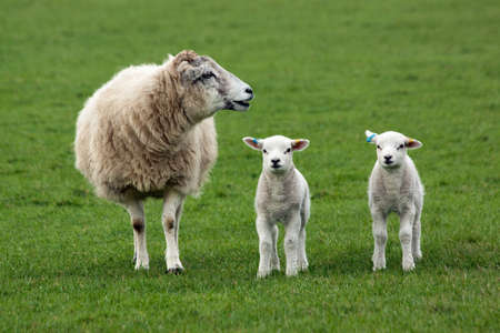 Sheep and two lambs in field
