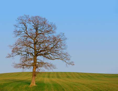 Single Tree dans le champ