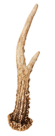 deer skull: Single Roe Deer Antler looking like a hand isolated on white background with clipping path Stock Photo