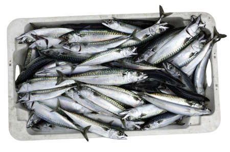 Crate of recently caught Mackerel isolated on white