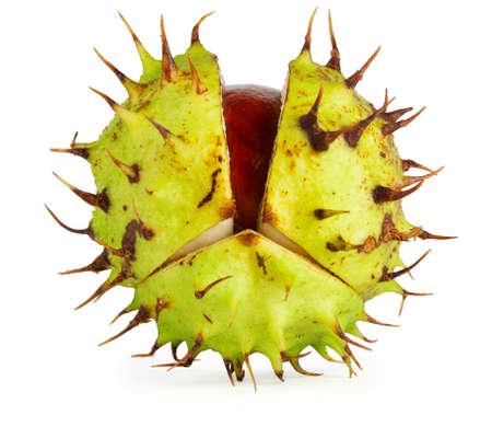 auburn: Horse chestnut conker in husk with gentle shadow.