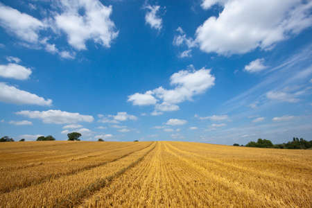 Field of golden wheat with tractor tracks against a blue sky with white clouds photo
