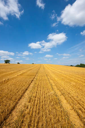 furrow: Field of golden wheat with tractor tracks against a blue sky with white clouds