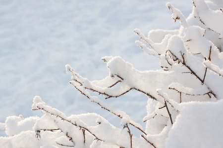 Twigs covered in freshly fallen snow with a snowy background - space for copy