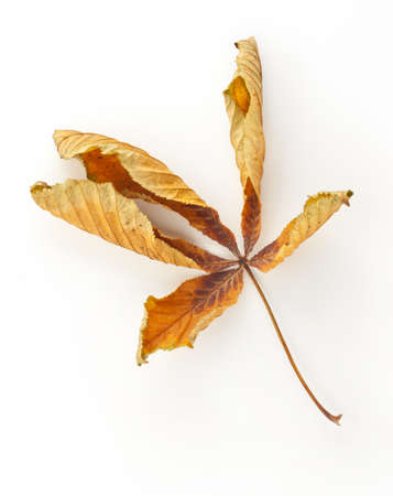 Dried up Horse Chestnut Leaf on plain background with soft shadow