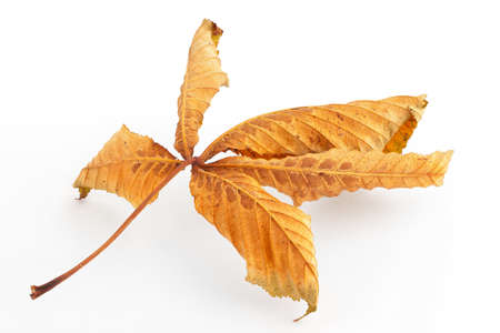 Dried up horse chestnut leaf on plain with soft shadow  Stock Photo