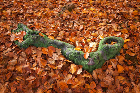 Green Moss Covered Tree Root Surrounded by Autumn Leaves Stock Photo