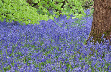 Tree trunk in a carpet of bluebells with green leaves in background Stock Photo