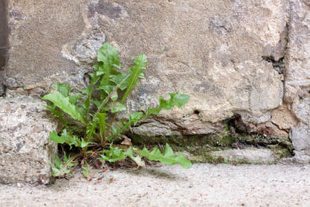 Weed growing from the base of an old stone wall 写真素材