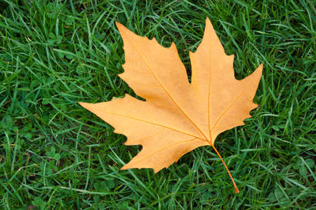 A single maple Leaf on green grass 写真素材