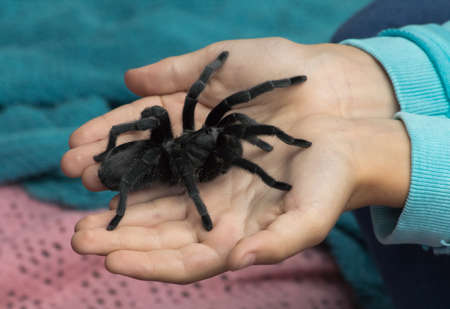 Pair of child's hands holding a black tarantula spider Stock Photo