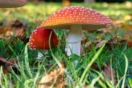 Fly agaric red and white fungi in a field 写真素材