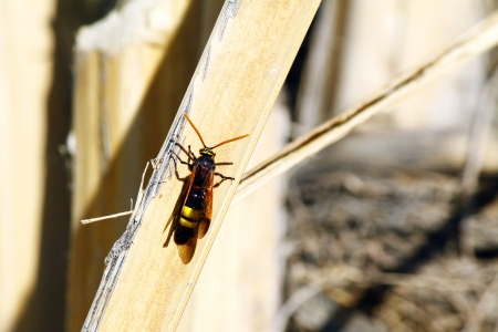 abdomen yellow jacket: wasp sitting on grass in Oman Stock Photo