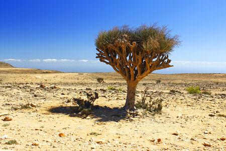 hill of the king: Lonely tree in the Oman desert Stock Photo