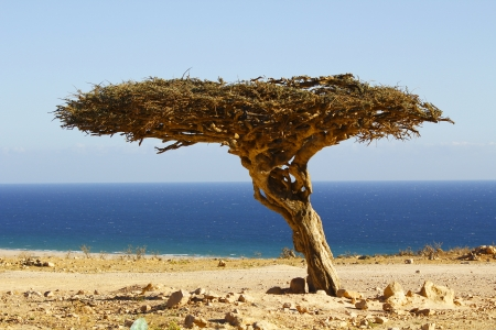 musandam: Lonely tree in the Oman desert, seaside landscape Stock Photo