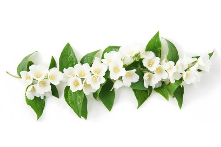 jasmine: a jasmine with a water drops on white