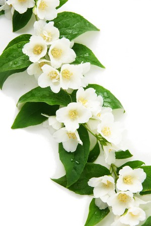 a jasmine with a water drops on white