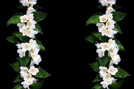 jasmine bush: a jasmine lines on black Stock Photo