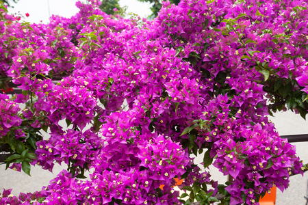 oleander: Oleander Flowers background for your design