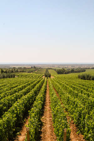 vast: Vast rows of green vineyards on the hills of Tuscany warm and sunny summer day Stock Photo