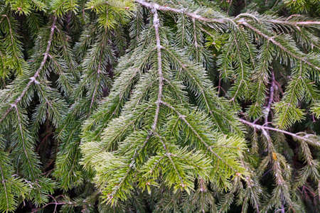 piny: Lots of multilayer spreading furry green conifer branches in summer day.