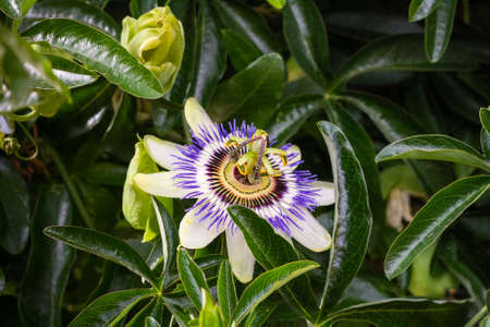 passionflower: White flower blue passionflower close-up among green leaves. Stock Photo