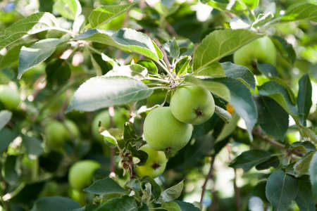 botanical farms: Small green apples on a branch among foliage summer day. Stock Photo